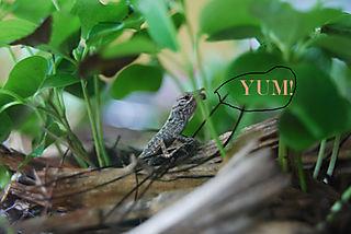 Yum-lizard