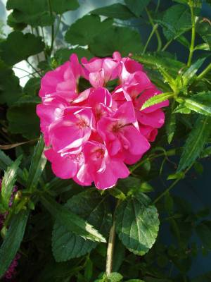 Morning_geranium