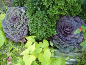 Ornamental_cabbages