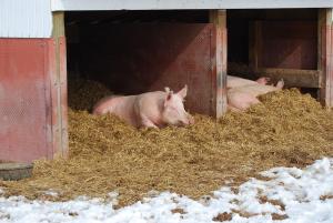Adult_pigs