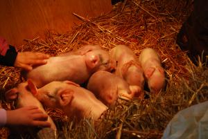 Brand_new_piglets